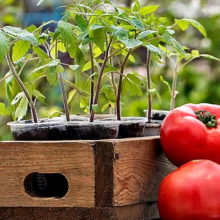 Когда и как сажать помидоры на рассаду в 2019 году по Лунному календарю