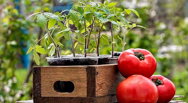 Когда сажать помидоры на рассаду в 2019 году по лунному календарю