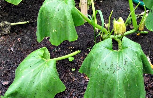 слабое растение