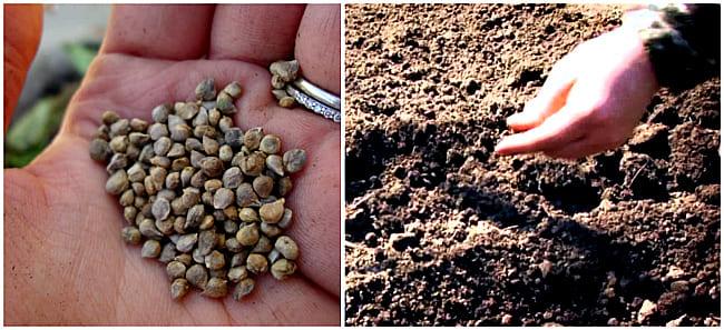 семена в почву