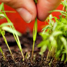 Когда и как сеять (сажать) морковь семенами в открытом грунте, чтобы не прореживать?