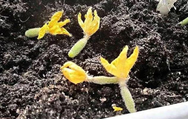 Почему желтеют и опадают завязи у огурцов в теплице и что делать